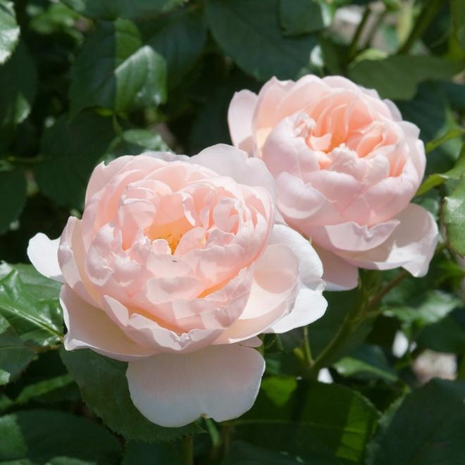 Khu vườn hoa hồng đẹp hơn cổ tích của người đàn ông được phong danh là Vĩ nhân hoa hồng của thế giới - Ảnh 16.