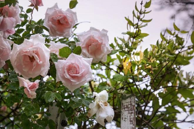 Kinh nghiệm tạo giàn hoa leo đẹp như trong mơ của cặp vợ chồng yêu hoa - Ảnh 4.