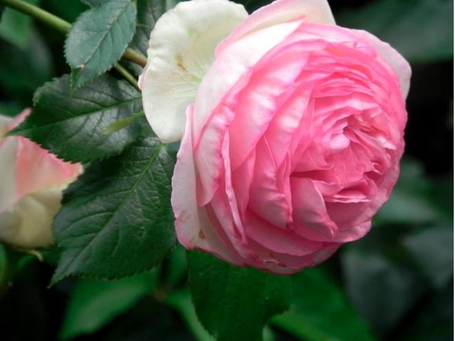 7 loài hoa hồng leo đẹp như những vũ công quyến rũ nên có mặt trong vườn của bạn - Ảnh 4.