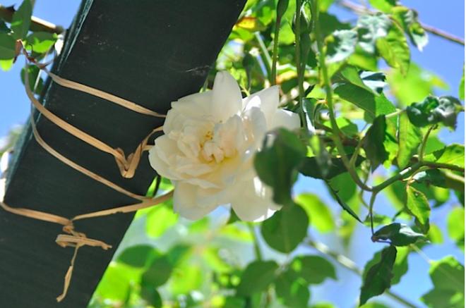 7 loài hoa hồng leo đẹp như những vũ công quyến rũ nên có mặt trong vườn của bạn - Ảnh 6.