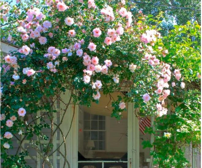 7 loài hoa hồng leo đẹp như những vũ công quyến rũ nên có mặt trong vườn của bạn - Ảnh 10.