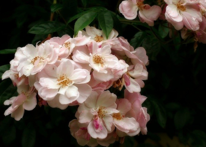 7 loài hoa hồng leo đẹp như những vũ công quyến rũ nên có mặt trong vườn của bạn - Ảnh 12.
