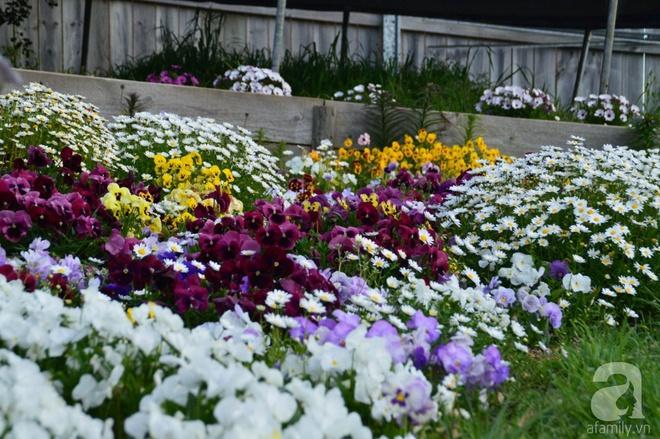 Người phụ nữ Việt tự tay biến khu vườn 700m² đầy cỏ dại thành một thảm hoa cúc dịu dàng - Ảnh 8.