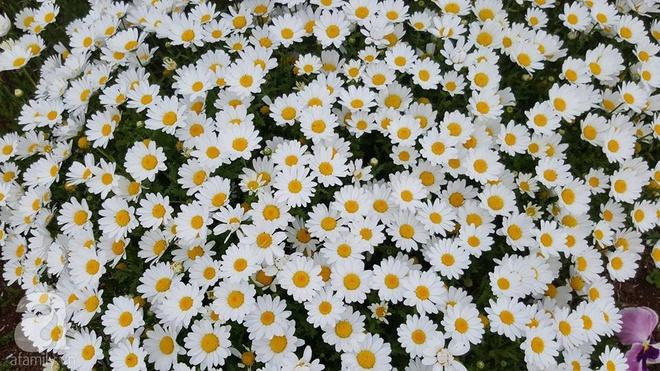 Người phụ nữ Việt tự tay biến khu vườn 700m² đầy cỏ dại thành một thảm hoa cúc dịu dàng - Ảnh 15.