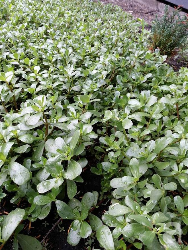 Ông bố quê xứ Thanh trồng cả vườn rau rộng thênh thang lên đến 3500m² với đủ mọi loại cây trái - Ảnh 6.