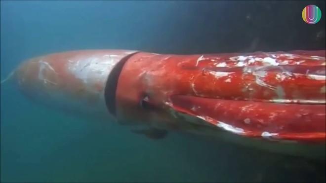 Mực khổng lồ dài hơn 5m liên tục sa lưới ngư dân - Ảnh 2.