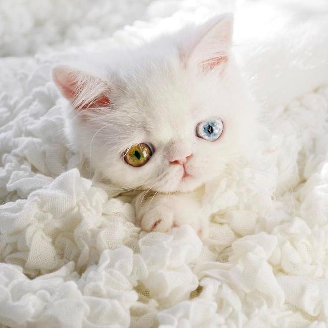 Mắc bệnh hiếm gặp, nàng mèo sở hữu 2 màu mắt tuyệt đẹp   - Ảnh 1.