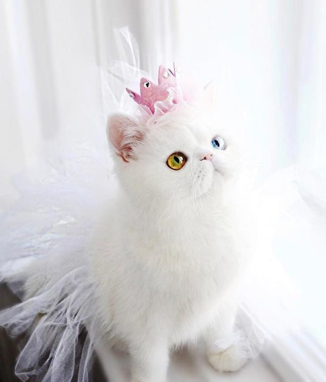 Mắc bệnh hiếm gặp, nàng mèo sở hữu 2 màu mắt tuyệt đẹp   - Ảnh 10.