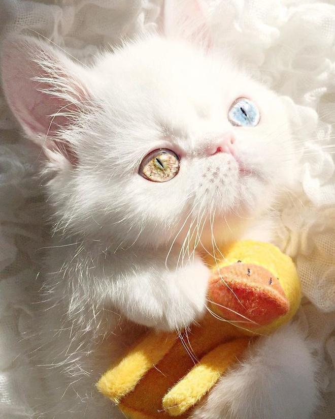Mắc bệnh hiếm gặp, nàng mèo sở hữu 2 màu mắt tuyệt đẹp   - Ảnh 3.