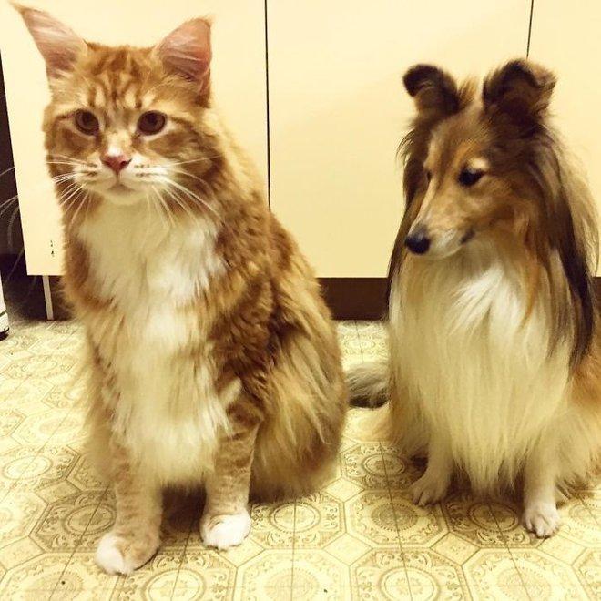 Đây đích thị là chú mèo khổng lồ nhất thế giới, dài tới 1,2m - Ảnh 7.