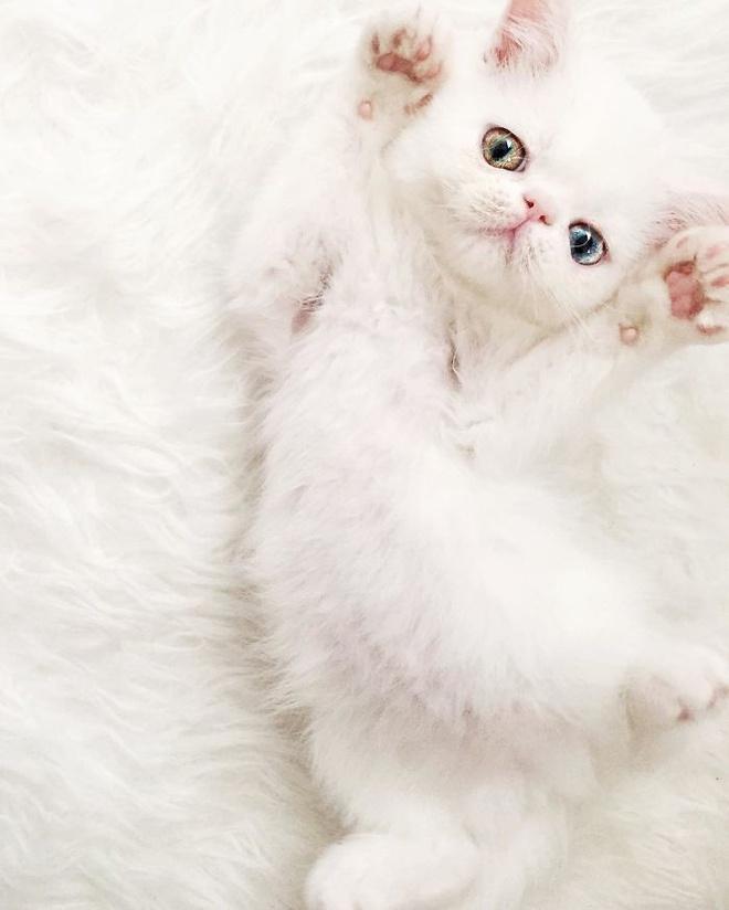 Mắc bệnh hiếm gặp, nàng mèo sở hữu 2 màu mắt tuyệt đẹp   - Ảnh 5.