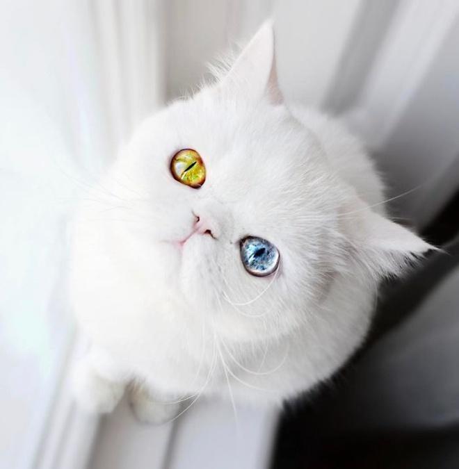 Mắc bệnh hiếm gặp, nàng mèo sở hữu 2 màu mắt tuyệt đẹp   - Ảnh 6.