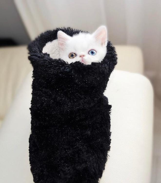 Mắc bệnh hiếm gặp, nàng mèo sở hữu 2 màu mắt tuyệt đẹp   - Ảnh 7.