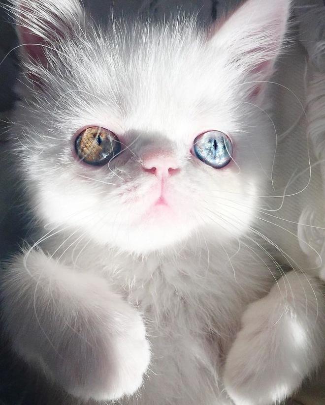 Mắc bệnh hiếm gặp, nàng mèo sở hữu 2 màu mắt tuyệt đẹp   - Ảnh 9.