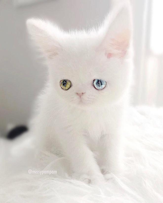 Mắc bệnh hiếm gặp, nàng mèo sở hữu 2 màu mắt tuyệt đẹp   - Ảnh 8.