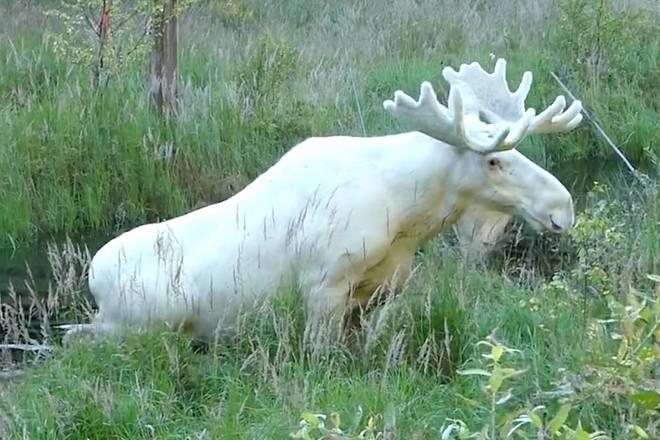 Phải mất 3 năm nhiếp ảnh gia mới ghi lại được hình ảnh về con vật trắng muốt như tuyết hiếm gặp này - Ảnh 2.