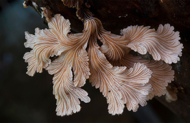 Loài nấm có tới hơn 23.000 giới tính, bạn sẽ phải giật mình về cách giao phối của chúng - Ảnh 4.