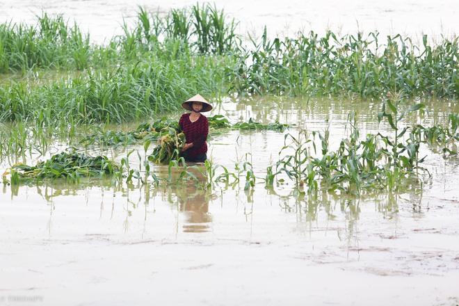 Hà Nội: Sau một đêm, làng biến thành sông, người dân trắng đêm sơ tán đồ đạc, gia súc - Ảnh 12.