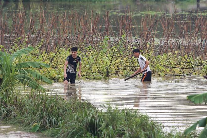 Hà Nội: Sau một đêm, làng biến thành sông, người dân trắng đêm sơ tán đồ đạc, gia súc - Ảnh 11.
