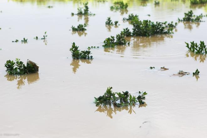 Hà Nội: Sau một đêm, làng biến thành sông, người dân trắng đêm sơ tán đồ đạc, gia súc - Ảnh 10.