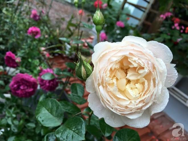 3 vườn hồng đẹp như mơ khiến độc giả tâm đắc tặng ngàn like trong năm 2017 - Ảnh 33.