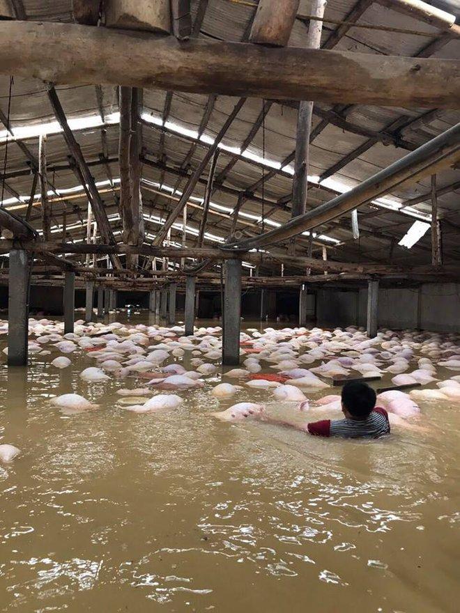 Xót xa hình ảnh hàng ngàn con lợn chăn nuôi chết trong nước lũ ở Thanh Hóa - Ảnh 3.