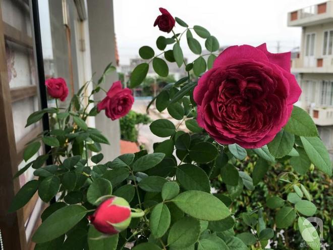 3 vườn hồng đẹp như mơ khiến độc giả tâm đắc tặng ngàn like trong năm 2017 - Ảnh 35.