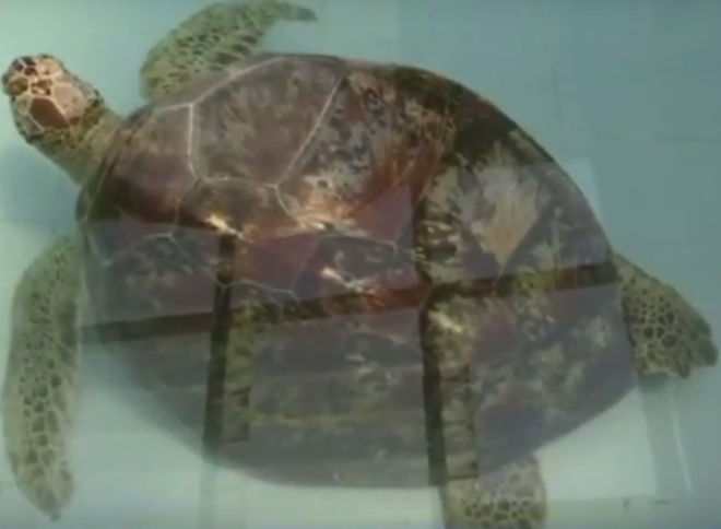Thấy con rùa không thể bơi dưới nước, các bác sĩ siêu âm và phát hiện sự thật đáng sợ - Ảnh 1.