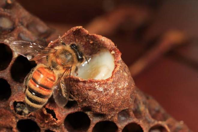 8 lợi ích tuyệt vời của sữa ong chúa đối với sức khỏe, mùa đông này chị em hãy trang bị ngay - Ảnh 1.