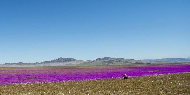Hiện tượng kỳ lạ: Muôn hoa đua nở rực rỡ sắc màu ở sa mạc khô cằn nhất thế giới - Ảnh 3.
