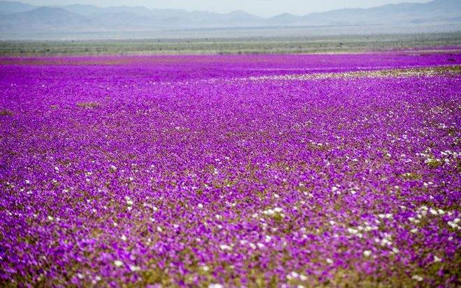 Hiện tượng kỳ lạ: Muôn hoa đua nở rực rỡ sắc màu ở sa mạc khô cằn nhất thế giới - Ảnh 4.
