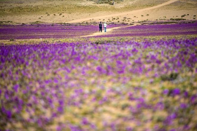 Hiện tượng kỳ lạ: Muôn hoa đua nở rực rỡ sắc màu ở sa mạc khô cằn nhất thế giới - Ảnh 8.