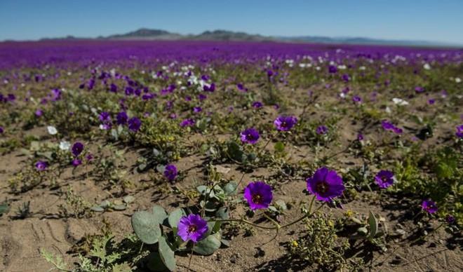 Hiện tượng kỳ lạ: Muôn hoa đua nở rực rỡ sắc màu ở sa mạc khô cằn nhất thế giới - Ảnh 7.