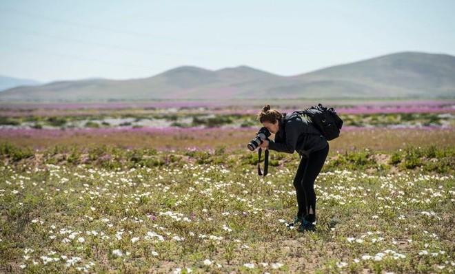 Hiện tượng kỳ lạ: Muôn hoa đua nở rực rỡ sắc màu ở sa mạc khô cằn nhất thế giới - Ảnh 9.