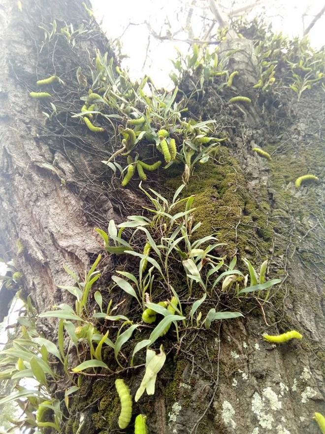 Kinh hãi cảnh hàng ngàn con sâu lạ ăn trụi lá cây cổ thụ - Ảnh 2.