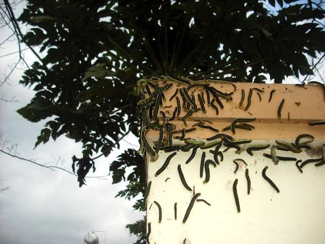 Kinh hãi cảnh hàng ngàn con sâu lạ ăn trụi lá cây cổ thụ - ảnh 1