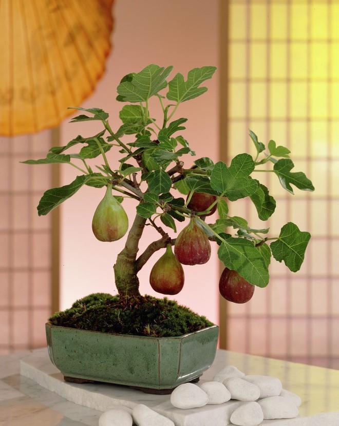10 chậu bonsai cây ăn trái mini siêu đẹp dùng trang trí nhà dịp Tết - Ảnh 10.