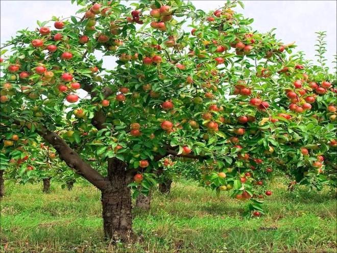 Mãn nhãn với những vườn cây cho ra trái trĩu trịt tưởng chỉ có trong mơ - Ảnh 3.