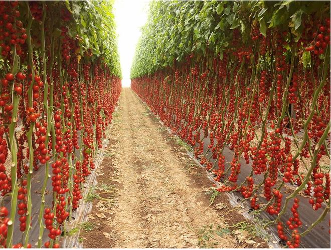 Mãn nhãn với những vườn cây cho ra trái trĩu trịt tưởng chỉ có trong mơ - Ảnh 7.
