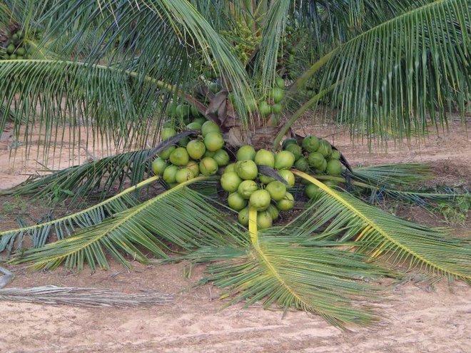 Mãn nhãn với những vườn cây cho ra trái trĩu trịt tưởng chỉ có trong mơ - Ảnh 8.