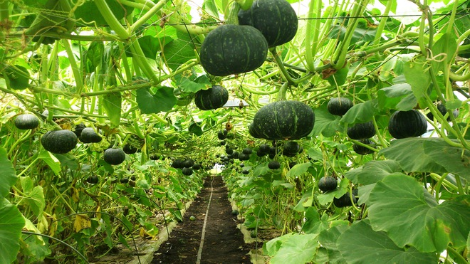 Mãn nhãn với những vườn cây cho ra trái trĩu trịt tưởng chỉ có trong mơ - Ảnh 11.