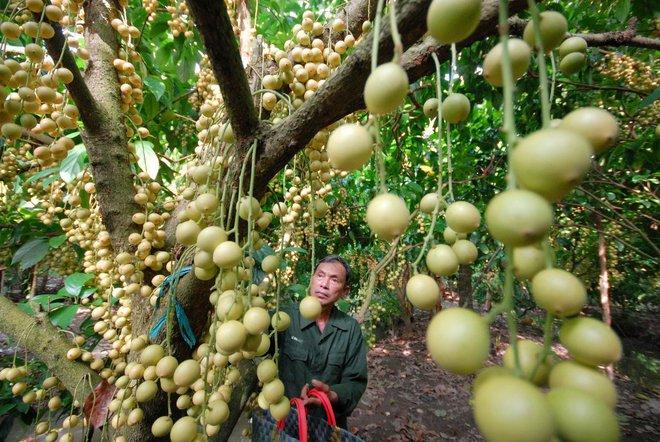 Mãn nhãn với những vườn cây cho ra trái trĩu trịt tưởng chỉ có trong mơ - Ảnh 12.