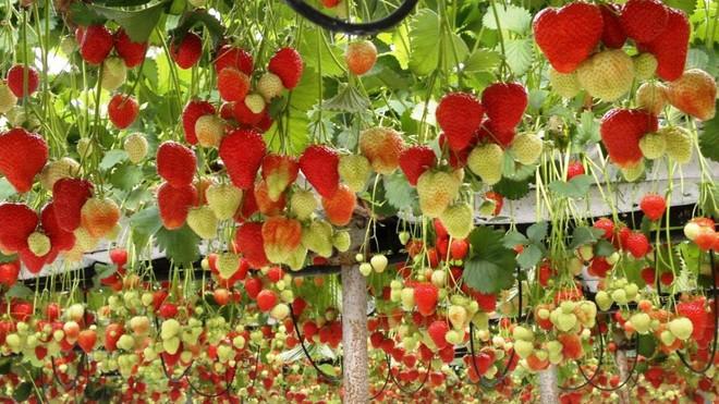 Mãn nhãn với những vườn cây cho ra trái trĩu trịt tưởng chỉ có trong mơ - Ảnh 13.