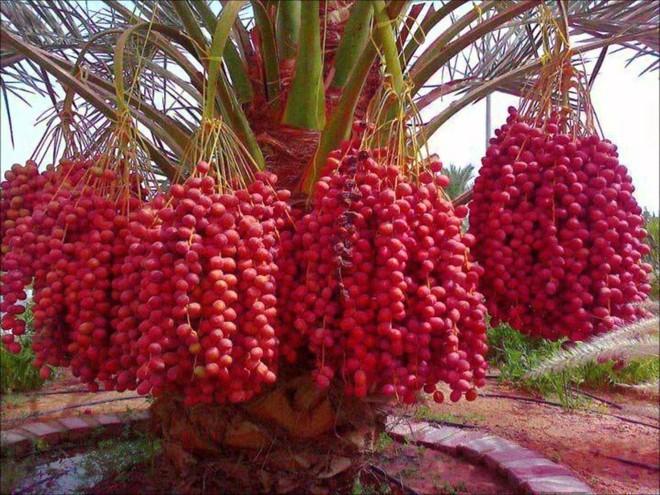 Mãn nhãn với những vườn cây cho ra trái trĩu trịt tưởng chỉ có trong mơ - Ảnh 16.