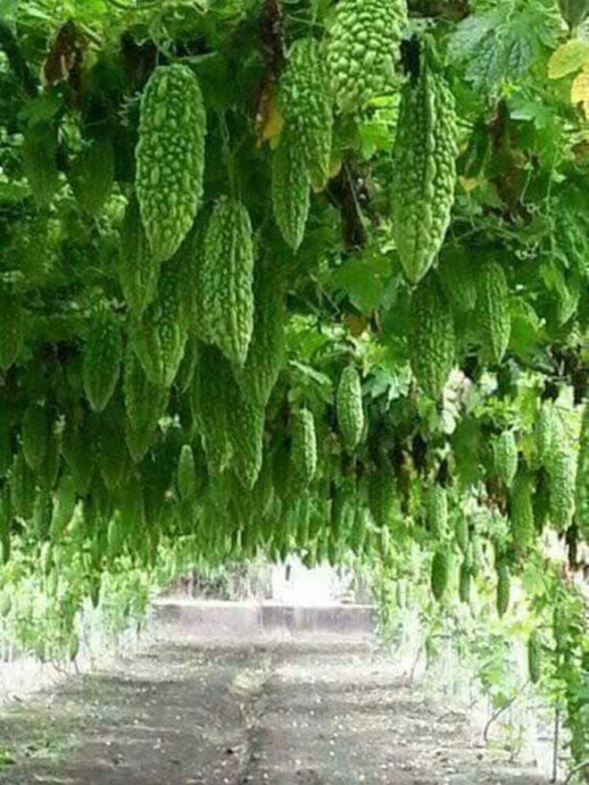 Mãn nhãn với những vườn cây cho ra trái trĩu trịt tưởng chỉ có trong mơ - Ảnh 20.