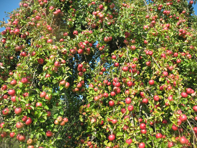 Mãn nhãn với những vườn cây cho ra trái trĩu trịt tưởng chỉ có trong mơ - Ảnh 21.