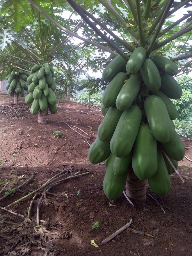 Mãn nhãn với những vườn cây cho ra trái trĩu trịt tưởng chỉ có trong mơ - Ảnh 25.