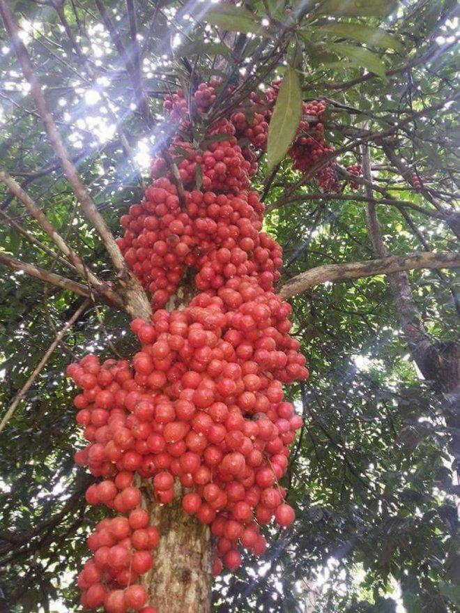 Mãn nhãn với những vườn cây cho ra trái trĩu trịt tưởng chỉ có trong mơ - Ảnh 29.