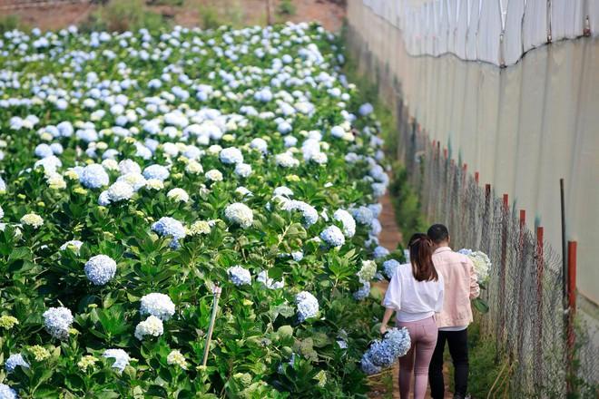 MC Hoàng Linh hạnh phúc như cô gái lần đầu biết yêu trong bộ ảnh cưới tại vườn cẩm tú cầu Đà Lạt - Ảnh 13.