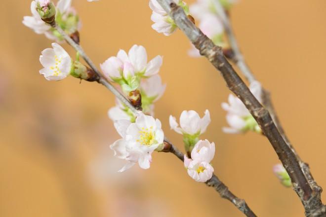 4 loại hoa nhập khẩu đắt tiền đang được chị em săn lùng ráo riết để trưng Tết 2018 - Ảnh 8.